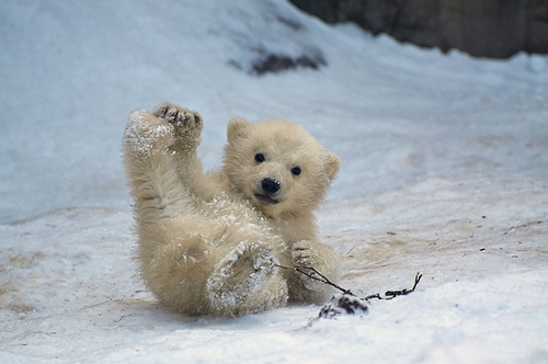 a-baby-polar-bearbaby-polar-bear-pictures-13-lubpedia-is-all-about-information-xfcxrg3t